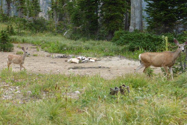 Deer in the campsite before heading out
